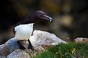 Razorbill on the Saltee Islands, off the coast of Co. Wexford, Ireland. A member of the Auk family, like Puffins, razorbills come to land in order to breed. They have one partner for life, and lay just one egg per year. Razorbills are the most numerous nesting bird on the Saltee Islands.