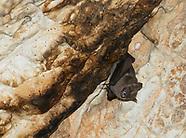 Common Fruit Bat, Artibeus jamaicensis