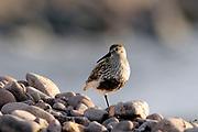 Dunlin, Calidris alpina, in Summer plumage, on pebble beach, Cuaig, Applecross, Ross-shire, Highland.
