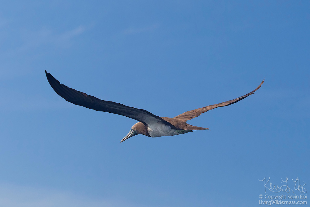 A brown booby (Sula leucogaster) hunts over the Pacific Ocean off the coast of Puero Vallarta, Mexico. Brown boobies dive into the ocean to catch their prey, mainly small fish and squid.