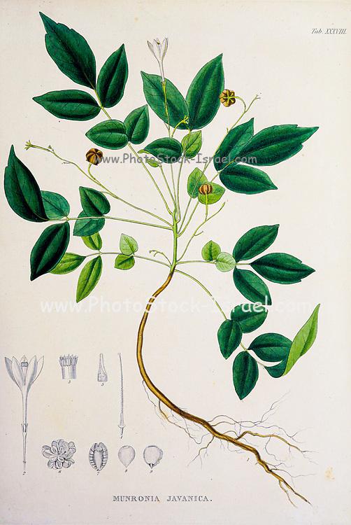 Munronia Javanica, from the 19th century manuscript 'Plantae Javanicae rariores, descriptae iconibusque illustratae, quas in insula Java, annis 1802-1818' (Java Plants, Description of plants on the island of Java) by Horsfield, Thomas, 1773-1859 Published in Latin in London in 1838