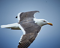 Western Gull in flight. Carmel Beach, Pacific Coast Highway. Image taken with a Nikon D3 camera and 80-400 mm VR lens.