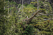 Bald Eagle on nest in old growth rainforest