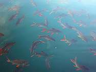Fish in Khao Sok National Park, Surat Thani Province, Thailand, Southeast Asia
