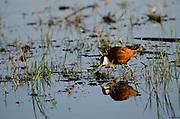 African Jacana (Actophilornis africana)<br /> Moremi Game Reserve, Okavango Delta<br /> BOTSWANA<br /> HABITAT & RANGE:  Shallow water throughout Sub-Saharan Africa