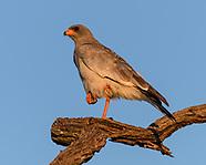 AFRICAN BIRDS OF PREY