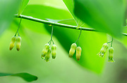 The morning mist brings soft light to these Solomon's Seal flowers