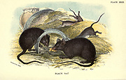 The black rat (Rattus rattus Here As Mus rattus), also known as the roof rat, ship rat, or house rat, is a common long-tailed rodent of the stereotypical rat genus Rattus, in the subfamily Murinae. It likely originated in the Indian subcontinent, but is now found worldwide From the book ' A hand-book to the British mammalia ' by  Richard Lydekker, 1849-1915  Published in London, by Edward Lloyd in 1896