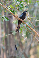 The greater racket-tailed drongo (Dicrurus paradiseus) is a medium-sized Asian bird which is distinctive in having elongated outer tail feathers with webbing restricted to the tips. They are placed along with other drongos in the family Dicruridae. They are conspicuous in the forest habitats often perching in the open and by attracting attention with a wide range of loud calls that include perfect imitations of many other birds.
