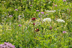 Purpergentiaan, Gentiana purpurea