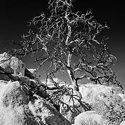 Desert Scrub Oak - Joshua Tree National Park CA - Infrared Black & White