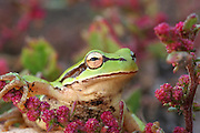 Green tree frog Hyla savignyi