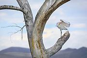 A snowy egret preens on a tree in Bosque del Apache National Wildlife Refuge, New Mexico