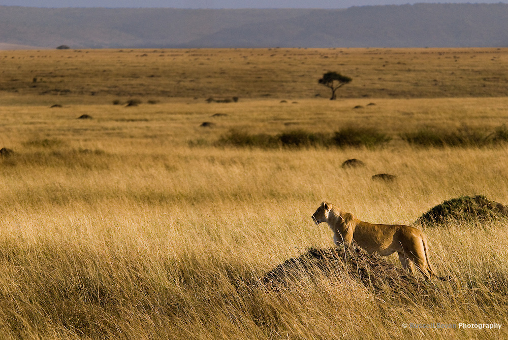 A lioness looks over the savannah from a termite mound in the Masai Mara National Park, Kenya