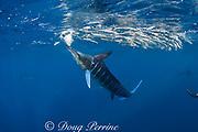 striped marlin, Kajikia audax (formerly Tetrapturus audax ), feeding on baitball of sardines or pilchards, Sardinops sagax, off Baja California, Mexico ( Eastern Pacific Ocean )
