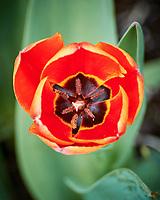 Tulip. Image taken with a Nikon 1 V3 camera and 70-300 mm VR lens.