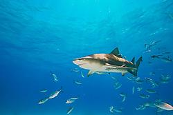 Lemon Shark, Negaprion brevirostris, with sharksuckers, Echeneis naucrates, and Blue Runner jacks, Caranx crysos, West End, Grand Bahama, Bahamas, Caribbean, Atlantic Ocean