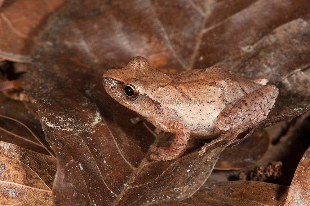 Spring Peeper (Pseudacris crucifer)<br /> CAPTIVE<br /> The Orianne Indigo Snake Preserve<br /> Telfair County, Georgia<br /> USA<br /> HABITAT & RANGE: Leaf litter and low shrubs of Eastern USA