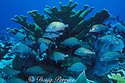 Caesar grunts, Haemulon carbonarium, hide under elkhorn coral, Acropora palmata, Cayman Brac, Cayman Islands ( Caribbean Sea )