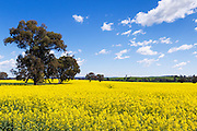 trees in a field of flowering canola crop under blue sky and cumulus cloud near Cudal, News South Wales, Austraila. <br /> <br /> Editions:- Open Edition Print / Stock Image