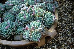 Echeveria secunda var. glauca in a shallow container