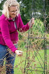 Clearing dead sweet peas off an obelisk at the end of the season before storing over winter