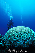 diver and giant brain coral, Colpophyllia natans, at Coral Cliffs, Curacao, Netherlands Antilles, ( Caribbean Sea ) <br /> MR 79
