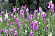 Nederland, Mook, 20-6-2015Een veld vingerhoedskruid in volle bloei. Digitalis purpurea, ook wel gewoon vingerhoedskruid genoemd, is een tweejarige of meerjarige plant. De plant komt in Nederland en België algemeen voor. Hij wordt ook wel in siertuinen gebruikt en zaait zich gemakkelijk uit.FOTO: FLIP FRANSSEN/ HOLLANDSE HOOGTE