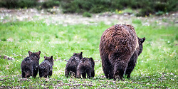 Grizzly 399 and her four cubs giving me their best side.<br /> <br /> Contact for custom print options or inquiries about stock usage  - dh@theholepicture.com
