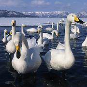 Whooper Swan (Cygus cygnus) on Lake Kussharo in Japan.