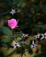 Last Rose  Irmo, South Carolina  photo by catherine brown