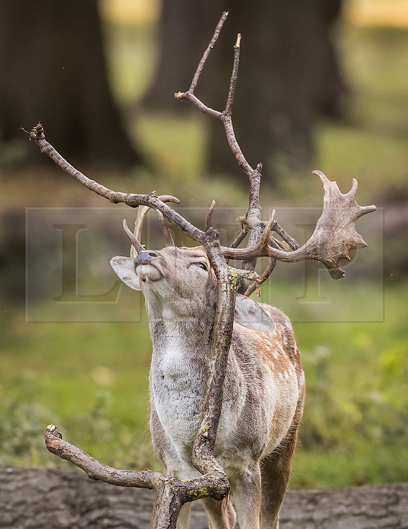 © Licensed to London News Pictures. 17/10/2017. London, UK. A young stag gets his antlers stuck in a tree branch at first light in Bushy Park.  Storm Ophelia is expected to hit parts of Scotland later today. Photo credit: Peter Macdiarmid/LNP