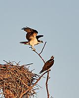 Osprey (Pandion haliaetus). Fort De Soto Park. Pinellas County, Florida. Image taken with a Nikon D3x camera and 300 mm f/2.8 VR lens.