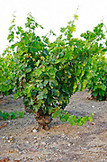 Goblet pruned vines in the vineyard. Slate. Carignan. Caramany, Ariege, Roussillon, France