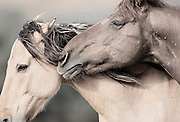 KIMI MEANS 'SECRET' IN NAVAJO.  THE NAME SECRET SPOKE TO ME FOR THIS IMAGE BECAUSE OF THE INTIMATE MOMENT SHARED BETWEEN THESE TWO WILD HORSES.  AS I SEE IT, ONE MUSTANG IS WHISPERING THE UNSEEN AND UNHEARD TRUTHS ONLY KNOWN AND SHARED BY THE HERD. THEIR MAGIC. THEIR SECRET. ONLY KNOWN TO THEM.<br /> <br /> KIMI IS ONE OF MY ALL TIME PERSONAL FAVORITE IMAGES BECAUSE OF THE MAGICAL QUALITIES AND MOMENT WHICH IS SO PRECISELY CAPTURED HERE. DESPITE THAT I WAS FREEZING, EXHAUSTED AND READY TO RETIRE FROM A LONG DAY'S SHOOT,  I WAS KEENLY AWARE OF THE 'MAGIC' THAT WAS ABOUT TO HAPPEN ON TOP OF THE SMALL MOUNTAIN. SOME PHOTOGRAPHERS KNOW WHEN SOMETHING 'SPECIAL' IS GOING TO HAPPEN. AND I HAD THAT FEELING. SO I WAITED… THE SUN WAS SETTING AND THE WINDS WERE STRONG, COLD AND CONSTANTLY BLOWING DIRT IN MY EYES, MOUTH, AND NOSE.  THEN THE MAGIC HAPPENED, THE MOST PRECIOUS, INTIMATE, YET SUBTLE CONNECTION BETWEEN THESE TWO HORSES HAPPENED. IT WAS SO SUBTLE THAT MOST WOULD MISS IT. JUST LIKE ONE WOULD MISS AN EXCHANGE OF A SECRET OR WHISPER.<br /> <br /> IRONICALLY, THIS IMAGE LOOKS AS IF IT WAS PRODUCED IN A STUDIO - WITH ALL THE VARIABLES THAT GO INTO MAKING AN AMAZING SHOT THERE IS USUALLY A DEGREE OF CONTROL TO THE 'SET'.  THE LIGHT, BACKGROUND, WIND, AND 'POSE' OF THESE TWO STUNNING  WILD HORSES WERE ALL ALIGNED FOR A PERFECT IMAGE.  THE  TYPE OF THINGS THAT I WAIT FOR AND AM LUCKY TO EXPERIENCE ONCE IN A BLUE MOON WHEN PHOTOGRAPHING OUT IN THE FIELD. THE TRUE BEAUTY OF  WHAT MAKES THIS IMAGE SO SPECIAL  TO ME IS THAT THERE WAS ABSOLUTELY NOTHING CONTROLLING THE SUBTLETIES AND INTRINSICAL NATURE OF SHOT -  JUST GOD'S BEAUTIFUL CREATIONS AND NATURALLY OCCURRING 'LIFE.'<br /> <br /> ~ AND JUST MAYBE, THAT'S THE TRUTH IN THIS SECRET