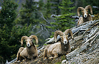 Bighorn sheep rams, Banff National Park, Alberta, Canada