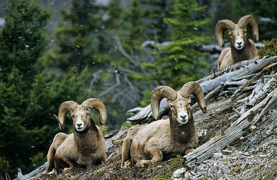 Bighorn sheep rams, Banff National Park, Alberta, Canada