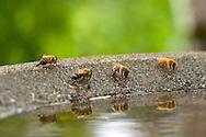Honeybees (Apis mellifera) drinking water from the edge of a birdbath