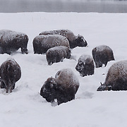 A small herd of female and baby bison near Madison Campground, Yellowstone National Park, Wyoming.