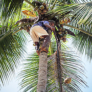 A local man climb the coconut tree to pluck coconuts. A traditional fishing village, Agonda has maintained a simplicity and charm that have earned it a reputation of one of the top beach destinations in Asia.