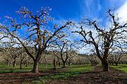 USA, Oregon, Hood River Valley, an orchard.
