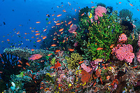 The peak of a submerged pinnacle is covered with colorful life, including hard corals, crinoids, and reef fish.<br /> <br /> Shot in Indonesia