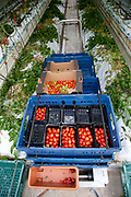 Packs of cherry tomatoes hand picked. The Cornerways tomato nursery is the largest greenhouse in the UK. It is attached to the British Sugar factory in Wissington, Norfolk. The project is a revolutionary CHP combined heat and power system that uses the heat produced by refining sugar beet into sugar, to heat the tomato plants that are grown hydroponically.