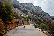 """A little Cretan goat is getting pictured on a mountain road close to Palaiochora which is a small town in Chania regional unit on the island of Crete, Greece. The Kri-kri (also called the """"Cretan goat"""", """"Cretan Ibex,"""" or """"Agrimi"""") was previously considered a subspecies of wild goat but has recently been identified as a feral variety of the domestic goat. The Kri-kri is now found only on the island of Crete, Greece and three small islands just offshore."""