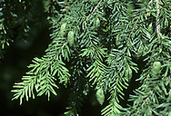 Western Hemlock-spruce Tsuga heterophylla (Pinaceae) HEIGHT to 45m.  Large, narrowly conical evergreen with dense foliage; crown spire-like with drooping leading shoot. LEAVES Needles, dark glossy green above with 2 pale bands below, in 2 flattened rows on either side of shoot. Note, 2 leaf sizes (hence heterophylla): some 6mm long, others to 2cm long, both with rounded tips and toothed margins. REPRODUCTIVE PARTS Male flowers reddish at first, but yellowing with pollen. Female cones solitary, ovoid and pendent, to 3cm long; scales blunt. STATUS AND DISTRIBUTION Native of W North America. Widely planted here and reaches a great size.