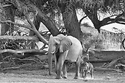 A desert elephant and her young calf (Loxodonta africana cyclotis) walking through the sandy Hoanib river bed, black and white, Skeleton Coast, Namibia