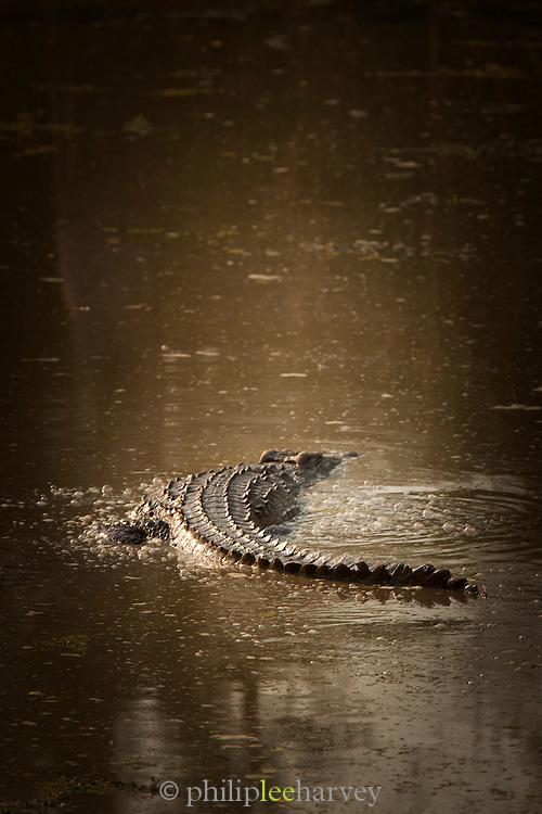 Crocodile, Luangwa River Valley, Zambia, Africa