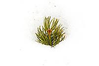 Lodgepole Pine Seedling In Snow in RMNP
