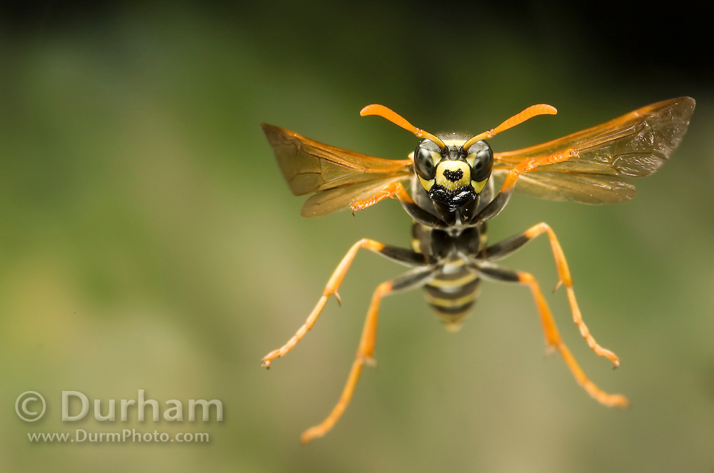 A paper wasp (Polistes dominula) in flight. photographed in 1/50,000th of a second with a high-speed camera. Western Oregon.
