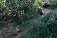Bear 451 protects her three yearling cubs from Bear 634 Popeye near Brooks Falls in Alaska